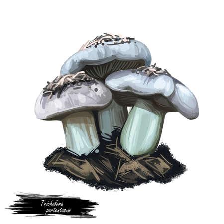 Tricholoma portentosum charbonnier or sooty head grey-capped edible mushroom of Tricholoma. Boletus cap body. Mushrooming season, plant growing in forests. Web print, clipart design. Hand drawn fungus
