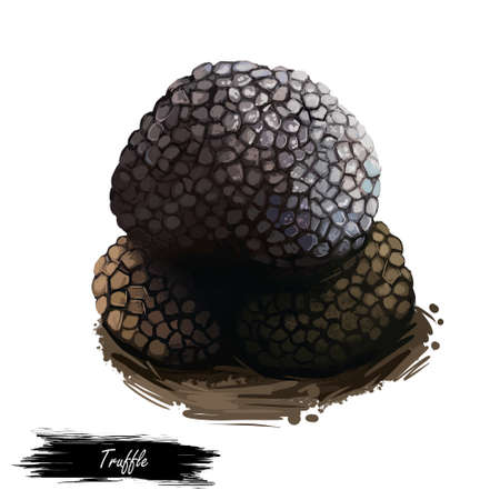 Truffle fruiting body of subterranean ascomycete fungus, Black truffle Tuber melanosporum mushroom closeup digital art illustration. Plant grow in forests. Web print, clipart design. Hand drawn fungus Stock Photo