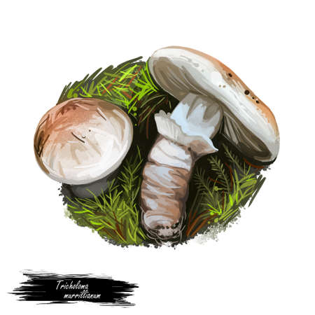 Tricholoma murrillianum ponderosa, pine mushroom, and Western matsutake. Edible mushroom of Tricholoma. Boletus cap ande body. Mushrooming season, plant growing in forests. Web print, clipart design