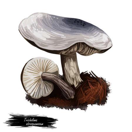 Tricholoma atrosquamosume dark-scaled knight, edible gilled mushroom closeup digital art illustration. Boletus cap ande body. Mushrooming season, plant growing in woods and forests. Web print, clipart