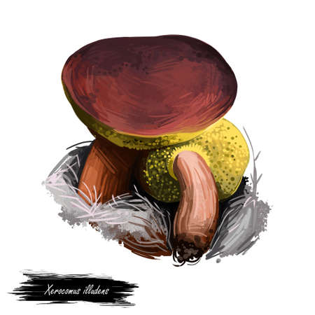 Xerocomus illudens mushroom closeup digital art illustration. Boletus has reddish brown cap and pale yellow colored flesh. Mushrooming season, plant of gathering plants growing in woods and forests