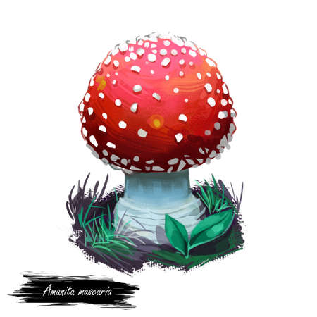 Amanita muscaria or fly agaric mushroom closeup digital art illustration. Conspicuous boletus has red cap with white dots. Mushrooming season, plant of gathering plants growing in woods and forests
