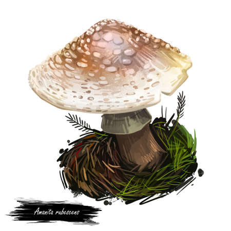 Amanita rubescens or novinupta, blusher mushroom closeup digital art illustration. Boletus has cream cap with white dots. Mushrooming season, plant of gathering plants growing in woods and forests