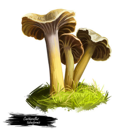 Cantharellus or Craterellus tubaeformis, yellowfoot or winter mushroom closeup digital art illustration. Boletus has brownish grey cap and yellow body. Mushrooming season, plants growing in forests Stock Photo