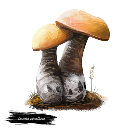 Leccinum aurantiacum or red capped scaber stalk mushroom closeup digital art illustration. Boletus has yellow cap and grayish stem. Mushrooming season, plant of gathering plants growing in forests Stock Illustration - 131069303