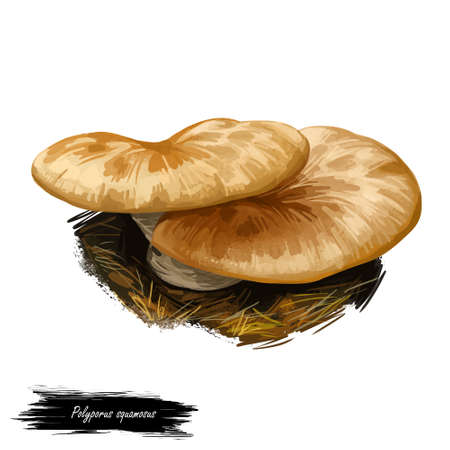 Polyporus squamosus, dryad saddle or pheasant back mushroom closeup digital art illustration. Boletus has light brown cap. Mushrooming season, plant of gathering plants growing in woods and forests