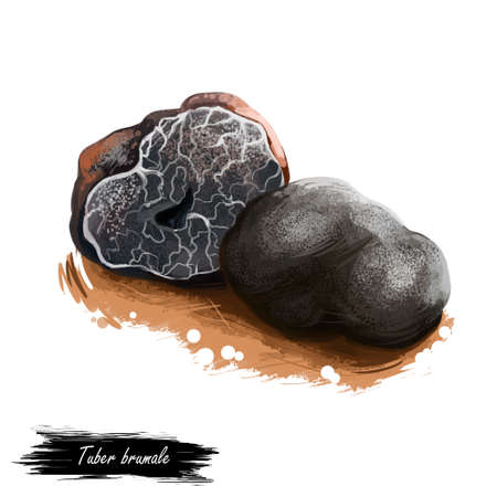 Tuber brumale, Muscat or Winter truffle mushroom closeup digital art illustration. Boletus has black fruit body and grows under ground. Mushrooming season, plants growing in woods and forests. Stock Photo