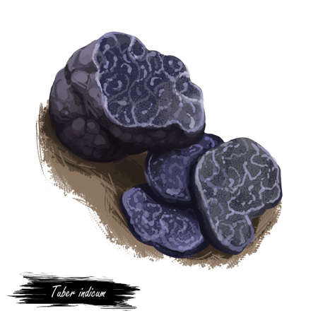 Tuber indicum, Cup fungi or truffle mushroom closeup digital art illustration. Boletus has dark violet fruit body and grows under ground. Mushrooming season, plants growing in woods and forests.