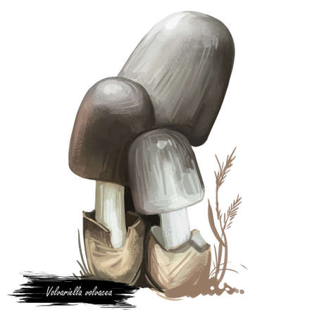 Volvariella volvacea or paddy straw mushroom closeup digital art illustration. Boletus has pink spore print and grey cap. Mushrooming season, plant of gathering plants growing in woods and forests