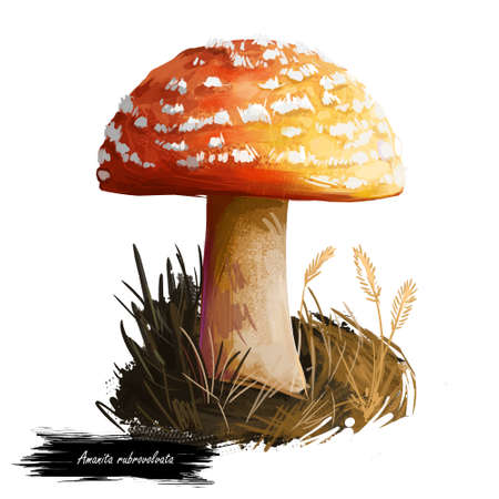 Amanita rubrovolvata or red volva mushroom closeup digital art illustration. Boletus has reddish orange cap with ring. Mushrooming season, plant of gathering plants growing in woods and forests.