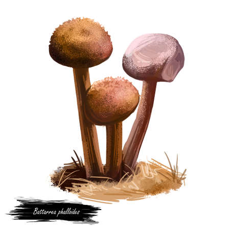 Battarrea phalloides, scaley or desert stalked puffball, sandy stiltball mushroom digital art illustration. Boletus has slender and shaggy or scaly stem. Mushrooming season, plants growing in forests