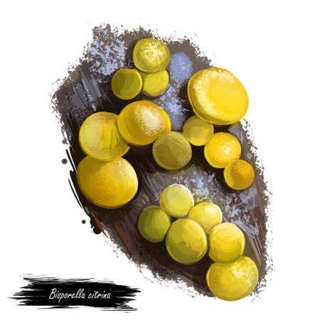 Bisporella citrina, fairy cups or lemon discos mushroom closeup digital art illustration. Boletus have smooth, bright yellow fruit bodies. Mushrooming season, plants growing in woods and forests. Stock Photo