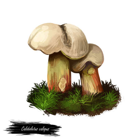 Caloboletus calopus, bitter beech or scarlet stemmed mushroom closeup digital art illustration. Boletus has light creame cap. Mushrooming season, plant of gathering plants growing in woods and forests