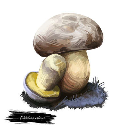 Caloboletus radicans, rooting or whitish bolete, mushroom closeup digital art illustration. Boletus has greyish cap. Mushrooming season, plant of gathering plants growing in woods and forests.