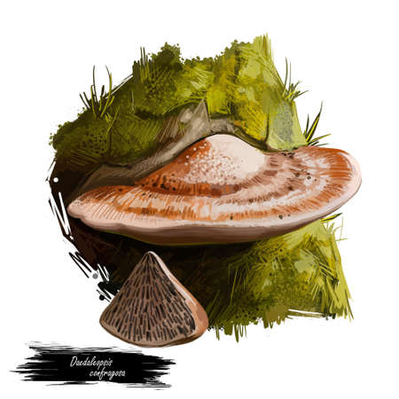 Daedaleopsis confragosa, thin walled maze polypore or blushing bracket mushroom closeup digital art illustration. Boletus has brown body and grows on trees. Plants growing in woods and forests. Stock Photo