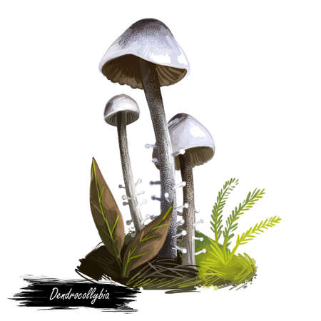 Dendrocollybia racemosa, branched Collybia or shanklet mushroom closeup digital art illustration. Boletus has thin stem and grey color of body. Mushrooming season, plants growing in woods and forests