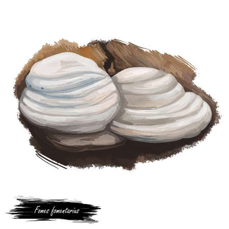 Fomes fomentarius, false tinder or hoof fungus, polypore or ice man mushroom closeup digital art illustration. Boletus has white fruit body and grows on trees. Plants growing in woods and forests. Stock Photo