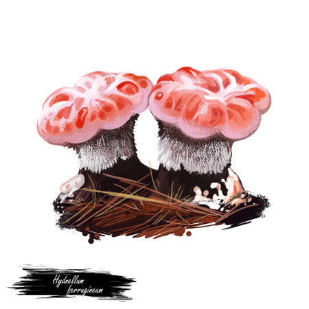 Hydnellum ferrugineum, mealy tooth or reddish brown corky spine mushroom closeup digital art illustration. Boletus has pinky white cap. Mushrooming season, plant of gathering plants growing in forests Stock Photo