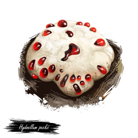 Hydnellum peckii, strawberries and cream, bleeding or Devil tooth fungus, mushroom closeup digital art illustration. Boletus has white with red drops fruit body. Plants growing in woods and forests