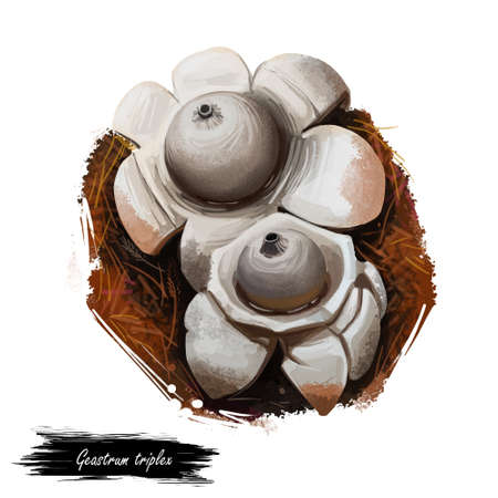 Geastrum triplex or collared, saucered or triple earthstar mushroom closeup digital art illustration. Boletus has grey fruit body and looks like start or flower. Plants growing in woods and forests.