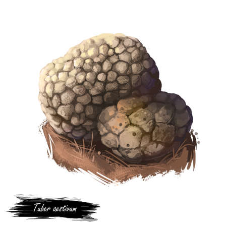 Tuber aestivum, summer or burgundy truffle mushroom closeup digital art illustration. Boletus brown outer skin forms pyramidal warts. Mushrooming season, plant of gathering plants growing in forests