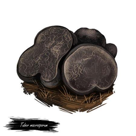Tuber macrosporum, smooth black truffle, edible truffle in the family Tuberaceae. Black truffle Tuber mushroom closeup digital art illustration. Web print, clipart design. Hand drawn fungus