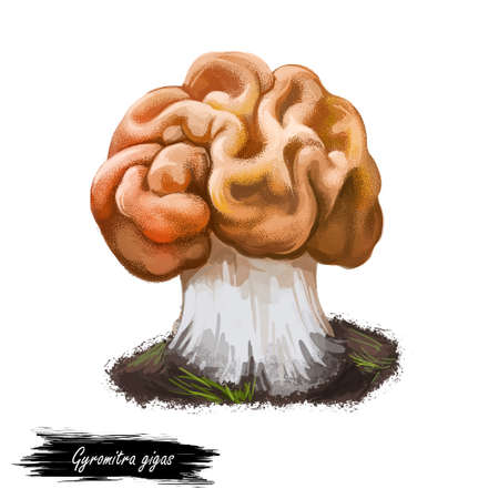 Gyromitra gigas or snow false morel, calf brain or bull nose mushroom closeup digital art illustration. Boletus has orange winding cap and looks like brains. Plants growing in woods and forests. 版權商用圖片