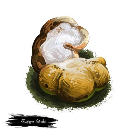 Rhizopogon luteolus, ectomycorrhizal mushroom closeup digital art illustration. Boletus has mustard color and white middle. Mushrooming season, plant of gathering plants growing in woods and forests. Stock Illustration - 131069500