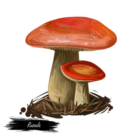 Genus Russula mushroom closeup digital art illustration. Boletus has bright colored orange cap and yellowish fruit body. Mushrooming season, plant of gathering plants growing in woods and forests