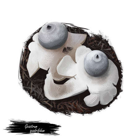 Geastrum quadrifidum, rayed or four footed earthstar mushroom closeup digital art illustration. Small and tough fruit bodies, grayish brown balls looks like star. Plants growing in woods and forests