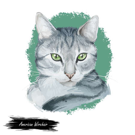 American Wirehair cat isolated on white background. Digital art illustration of hand drawn kitty for web. Kitten wirehaired medium size, have bicolor, ruddy and black, tabby coat and yellow eyes Banco de Imagens - 131069589