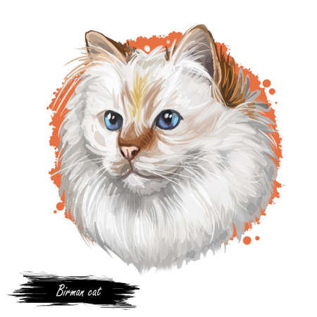 Birman or Sacred Cat of Burma isolated on white background. Digital art illustration of hand drawn kitty for web. Long haired and color pointed kitten with silky white coat and deep blue eyes