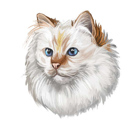 Birman or Sacred Cat of Burma isolated on white background. Digital art illustration of hand drawn kitty for web. Long haired and color pointed kitten with silky white coat and deep blue eyes Stock fotó - 131778987