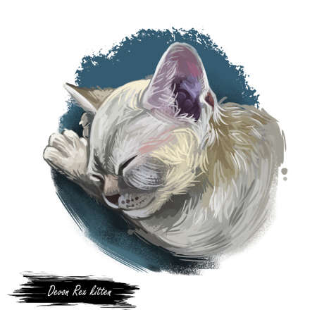 Domestic breed Devon Rex cat isolated on white background. Digital art illustration of hand drawn kitty for web. Sleeping short haired kitten with curly and very soft coat. Pet have ashy grey fur