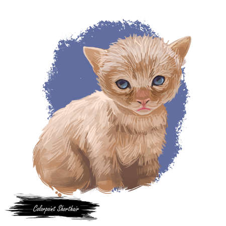 Domestic breed Colorpoint Shorthair cat isolated on white background. Digital art illustration of hand drawn kitty for web. Face of kitten with cream point coat and blue eyes. Pet have collar on neck