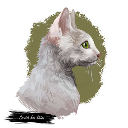 Domestic breed Cornish Rex cat isolated on white background. Digital art illustration of hand drawn kitty for web. Face of kitten with big brown ears and blue eyes. Watercolor picture of pet with coat Zdjęcie Seryjne