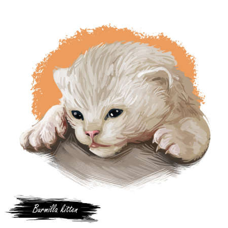 Domestic breed Burmilla cat isolated on white background. Digital art illustration of hand drawn kitty for web. Medium haired kitten have white coat with silver background and deep brown eyes Imagens