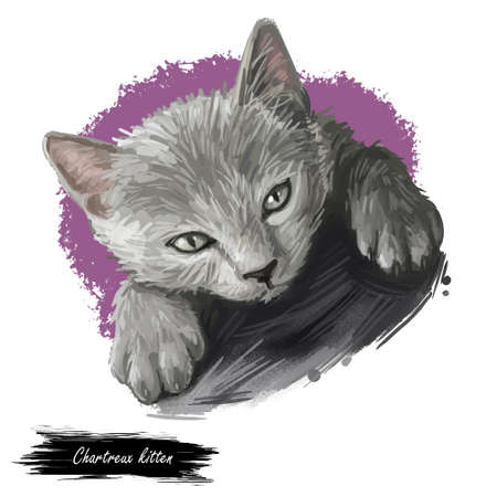Rare domestic breed Chartreux cat isolated on white background. Digital art illustration of hand drawn kitty for web. Kitten have copper color eyes and silky grey dense coat. Watercolor picture