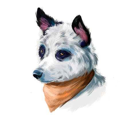 Cattle Dog, Australian Cattle Dog, Blue Heeler dog digital art illustration isolated on white background. Australian origin working herding dog. Cute pet hand drawn portrait. Graphic clip art design