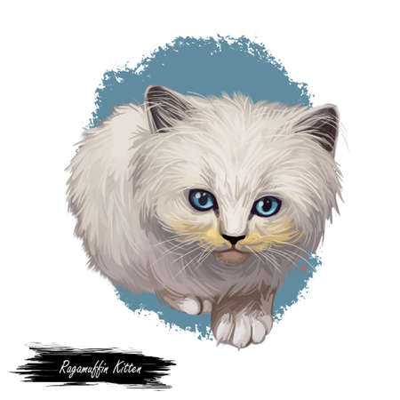 Ragamuffin kitten digital art illustration. Watercolor realistic portrait of furry cat face. Muzzle of kitty similar to ragdoll cat. Domesticated animal in closeup. US Pussycat with blue eyes