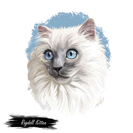 Ragdoll kitten digital art illustration. Domesticated catty with long fur and blue eyes. Watercolor portrait of catty muzzle. Puppy-like cat originated from USA. Cat-dog with white hair in closeup.