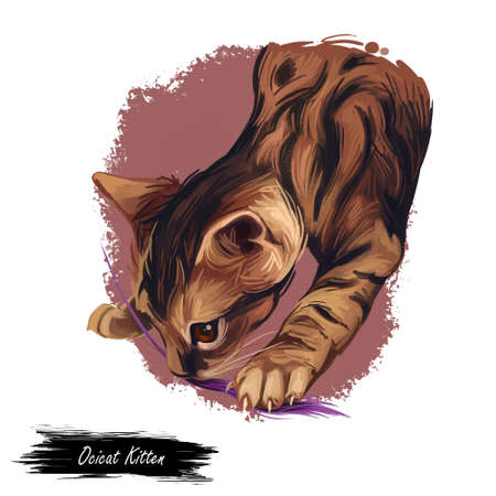 Ocicat kitten digital art illustration. Feline breed named after Ocelot, kitty playing with thread. Domesticated pet originated from USA. American cat watercolor realistic portrait closeup with text
