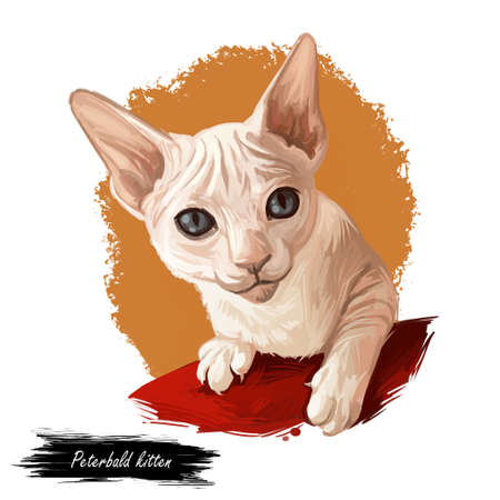 Peterbald kitten digital art illustration. Felis catus from Russia, Russian feline breed of domestic pets. Face and paws of mammal animal. Watercolor realistic portrait of kitty with long ears