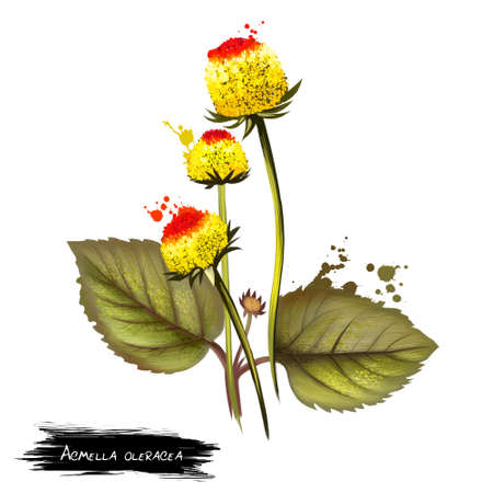 Paracress cute bicolor flowers(Acmella oleracea). Digital art illustration of herb seasoning with yellow flowers isolated on white. Ktchen herb condiment, botanical plant with blooming buds