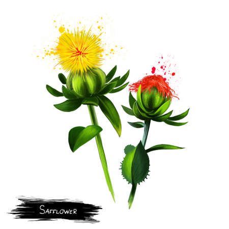 Safflower Carthamus tinctorius is a highly branched, herbaceous, thistle-like annual plant. Cultivated for vegetable oil extracted from the seeds. Herbs and spices collection. Digital art illustration