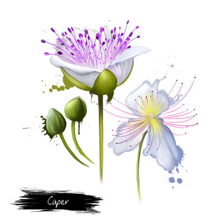 Capparis spinosa, caper bush, Flinders rose, perennial plant that bears rounded leaves and large white to pinkish-white flowers. Edible flower buds capers, often used as a seasoning. Digital art