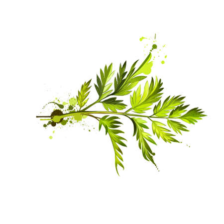 Chervil or French parsley herb graphic illustration. Delicate annual herb related to parsley. Used to season mild-flavoured dishes and is a constituent of the French herb mixture fines herbes. Digital Reklamní fotografie