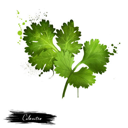 Cilantro green leaves close-up isolated on a white. Grahic illustration. Coriander. Chinese parsley. Annual herb in the family Apiaceae. Herbs spices. Healthy food natural organic plant. Digital art Banco de Imagens