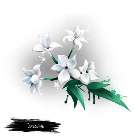 Jasmine Flower isolated on white. Deciduous or evergreen green all year round, and can be erect, spreading, or climbing shrubs and vines. Medical plant. Herbs and spices collection. Digital art.