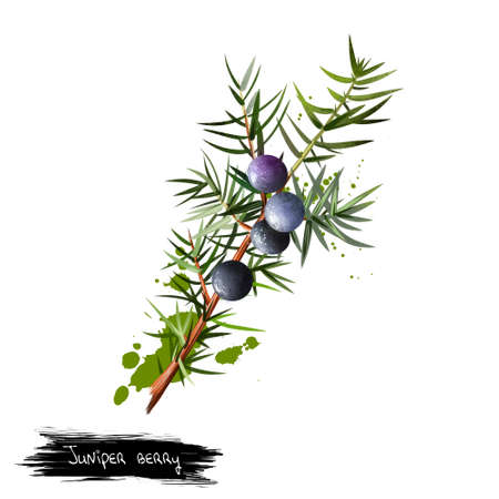 Branch of juniper with detail of foliage, berries and seeds. It is not true berry but cone with unusually fleshy and merged scales. Medical plant. Herbs and spices collection. Digital art illustration Stock Photo